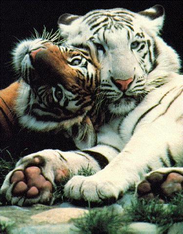 _tigris1.jpeg